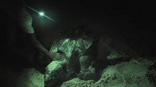 Operation Jairo Caribbean - Leatherback Turtle laying Eggs