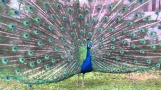Peacock Displaying Plumage Scone Palace Perth Perthshire Scotland
