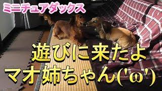 【ミニチュアダックス】マオ姉ちゃん、遊びに来たよ('ω')
