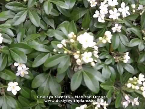 Choisya ternata - Mexican Orange, Mock Orange