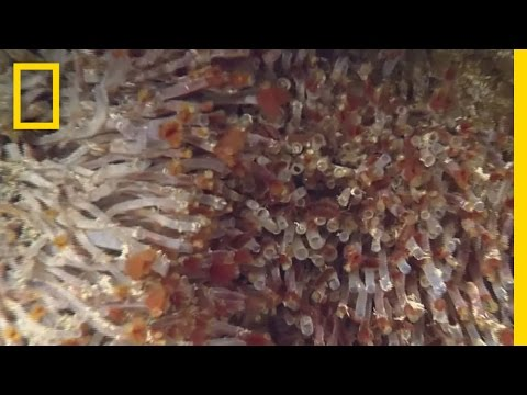 Weird Worms Live Near Pacific Ocean's Deepest High-Temp Vent | National Geographic