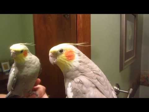 Rex the Cockatiel Sings the Charge Fanfare