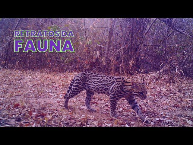 Jaguatirica - Retratos da Fauna #14