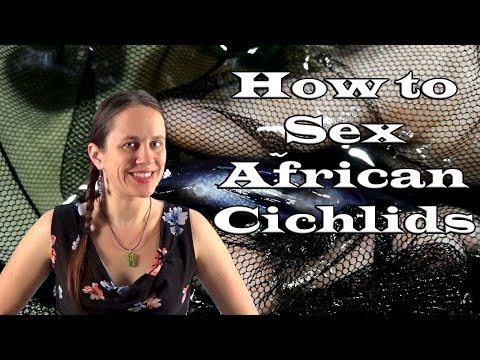How to Sex African Cichlids