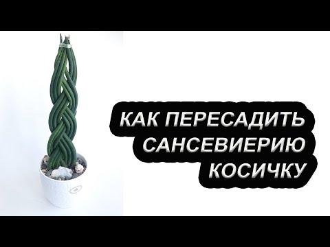 Как пересадить сансевиерию Косичку / Цилиндрическая сансевьера