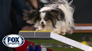 Lark the Papillon flawlessly executes the agility run to win the 8' class | FOX SPORTS