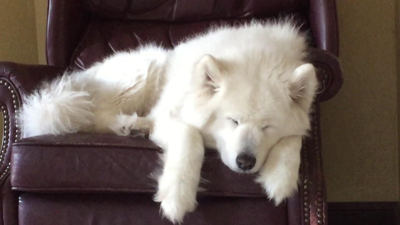 Resultado de imagen para samoyed sleeping