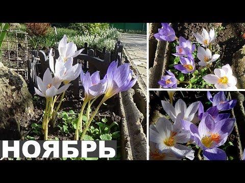 Безвременник осенний или осеннецветущие крокусы  Цветы цветущие осенью
