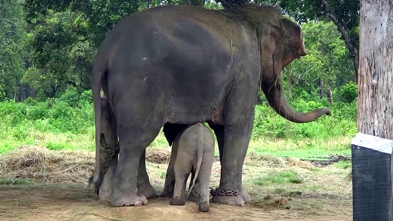 Cutest Baby Elephant Running to its Mom After Sensing D ...