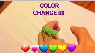 Male Baby Veiled Chameleon : CAMO Changing Colors !!!!