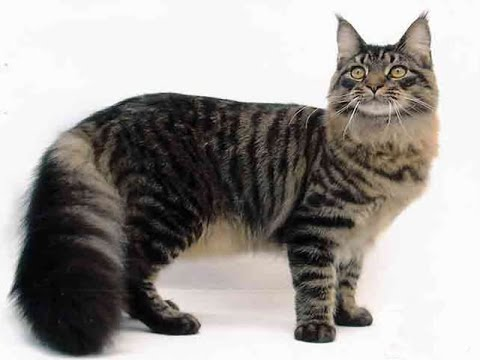 American Polydactyl Cat Breed | Get Acquainted with American Polydactyl