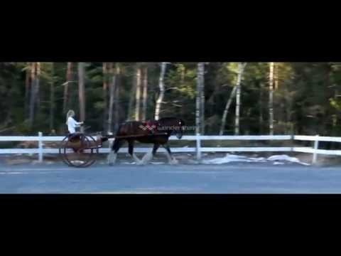 Shire horse driving