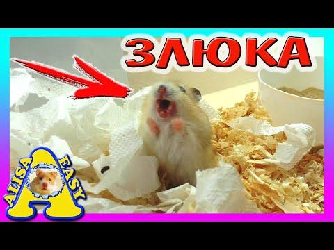 ХОМЯЧОК СЛОМАЛСЯ / НОВЫЙ ПИТОМЕЦ ЗЛЮКА? / ЗОЛОТЫЕ ХОМКИ, СВИНКА КОТ / Alisa Easy Pets