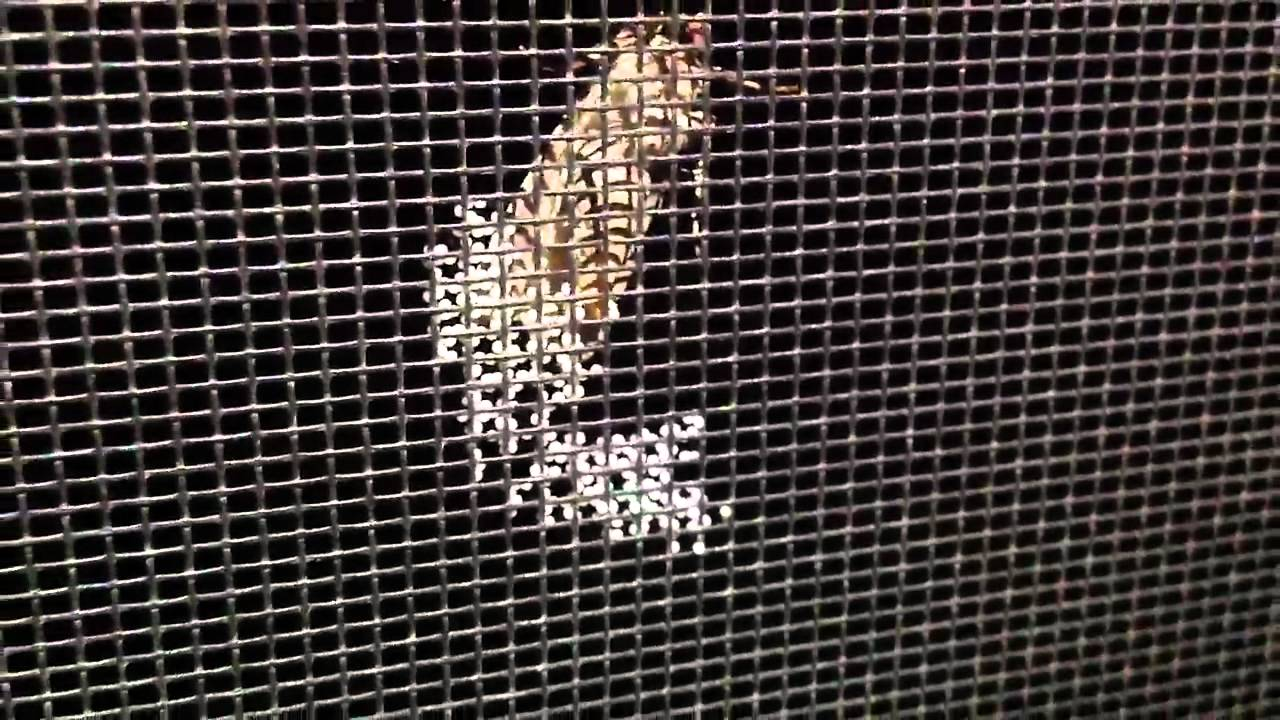 Moth laying eggs on screen