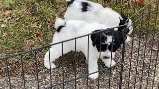 Furgee's schnoodle puppies March 4, 2020 These kids are SOLD