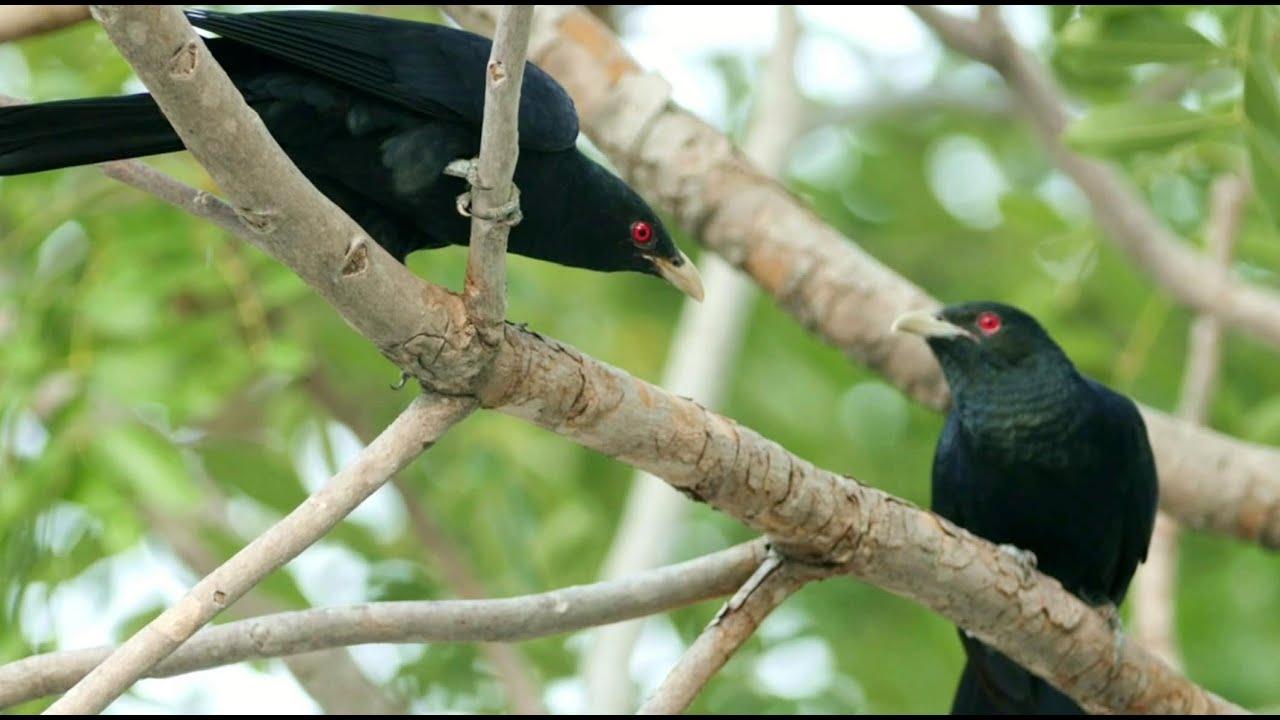 koyal bird singing sound,cuckoo bird singing song sound, 4k ultra hd
