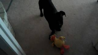 Carl Barx The Dachshund/labrador Mix Puppy Tells A Duck He's Sorry