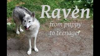 Low content american wolfdog Raven and a few clips from puppy to te...