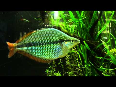 Melanotaenia Trifasciata - 'Goyder River' & 'Coen River'