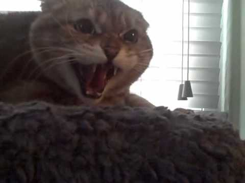 Extremely Angry cat | ...