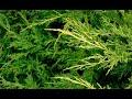 Tipos de enebros o juniperus - Decogarden