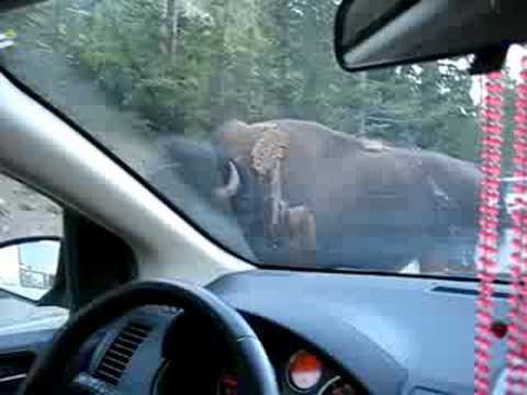 Yellowstone Bison on Road