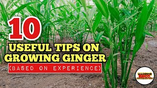10 Useful Tips On How To Grow Ginger | Ginger Farming in the Philippines