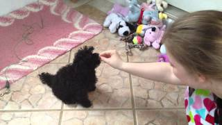 Adorable Teacup Poodle Puppie For Sale Male Undocked Uncropped Tail