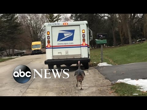 Residents capture turkey following postal worker delivering mail