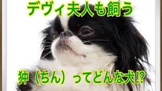 ペットで犬を飼おうと迷っている方へ〜狆(ちん)〜 世の中には様々な犬...