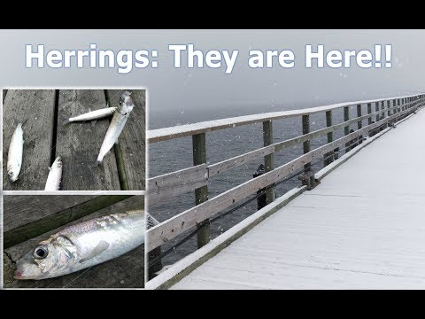Herring Fishing Long Island NY in a Snow Storm 2017 ep.77