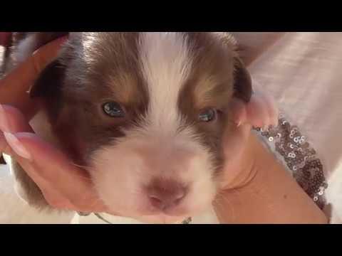 Lustige Australian Shepherd Welpen - Fotoshooting mit Maxies Hundewelpen