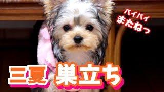 【ヨークシャーテリア専門犬舎チャオカーネ】 三夏(エマ)巣立ちでした。...