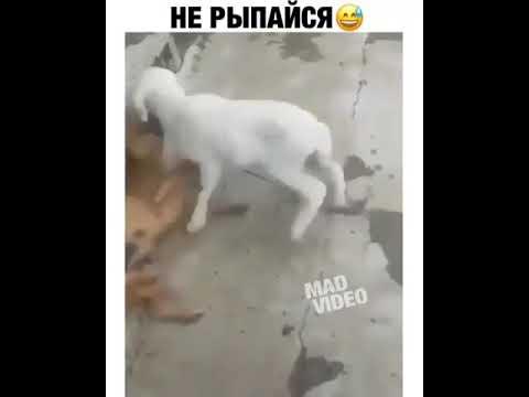 Не рыпайся коза и собака что у них общего