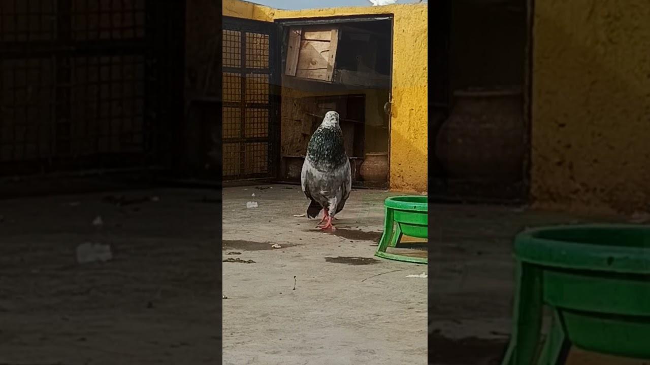 Royal Style    #shorts🔥    #pigeonmasti