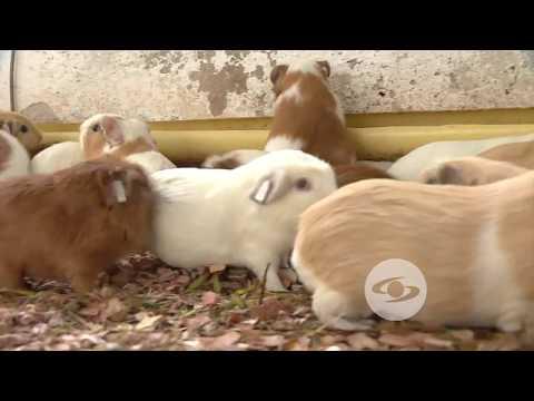 Lo que debe saber sobre la cría de cuyes | La Finca de Hoy