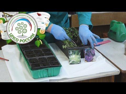 Выращивание капусты кольраби. Пикировка рассады кольраби.