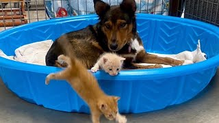 Grieving mama dog adopts kittens after losing her puppies