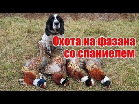 Охота на фазана со спаниелем