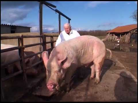 Download Des cochons gros comme des vaches