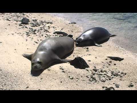 Days 47 - 50 Life History of Hawaiian Monk Seal 2015.5.15b