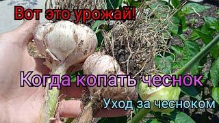 Чеснок Как добиться хорошего урожая Когда копать чеснок Где лучше растет Уход