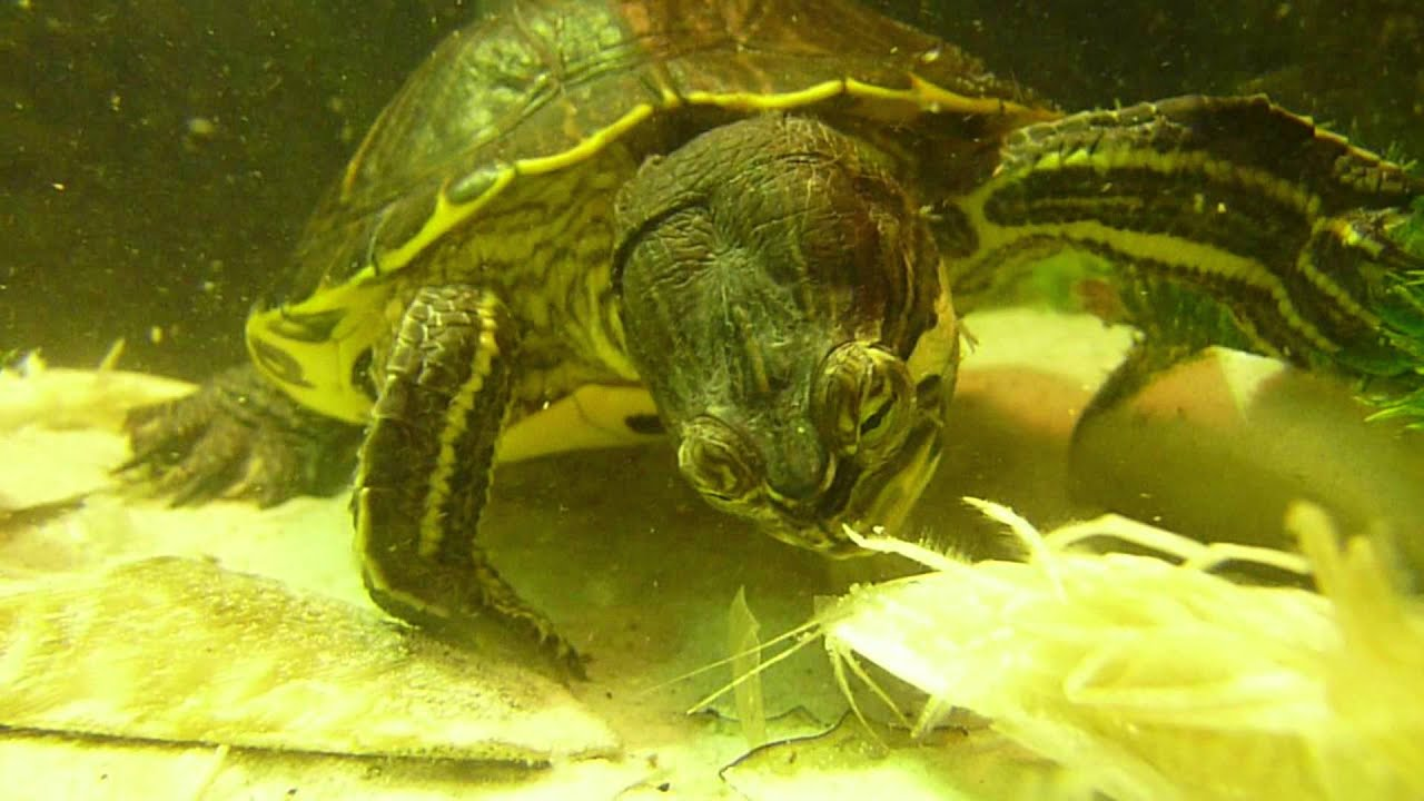 HD! Water turtle eating shrimps Close-Up / Waterschildpad eet garnalen ...