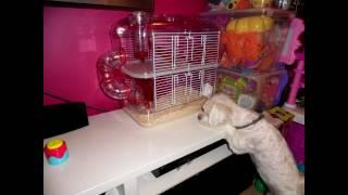 Funny Doggy and hamster. funny animals/ klatka dla chomika zolux rody lounge/ śmieszne zwierzaki HD