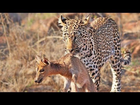 Duiker Shouts For Help As Leopard Plays With It