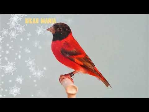KICAUAN Burung Red Siskin Super Gacor, Master Kicau..!!