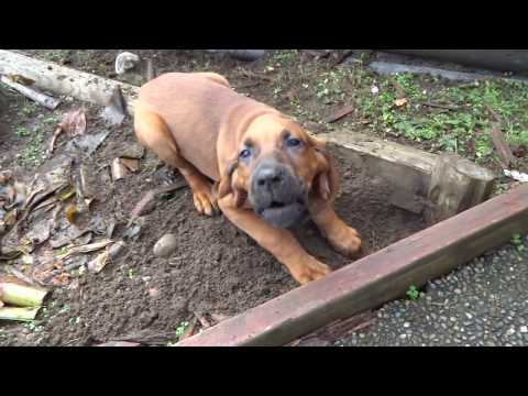 11 Week Old Redbone Coonhound Baying at The Scent of Prey (Funny)