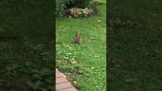 A wild rabbit has come to feed on our lawn and we're happy