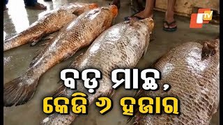 Fishes weighing over 30 kg caught by fishermen in Chandbali
