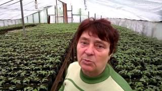 видео Пятнистость томатов, как с ней бороться?
